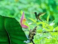 小さな小さなハチドリ