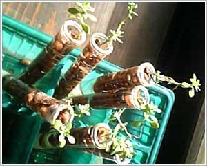 実験中の万年草