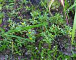 スベリヒユです、万年草に似ていますね^^