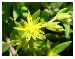 万年草:黄色い星型の花がきれいです