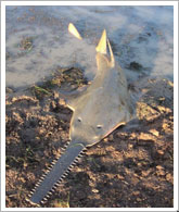 絶滅危惧種・Red Listサメ?