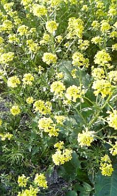 菜の花写真1.jpg